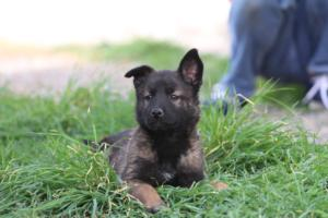 Belgian-Malinois-Puppies-BTWW-H-Litter-180319-0277