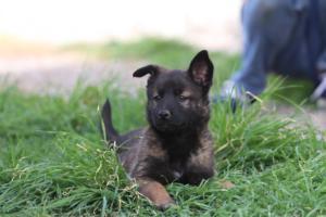 Belgian-Malinois-Puppies-BTWW-H-Litter-180319-0278