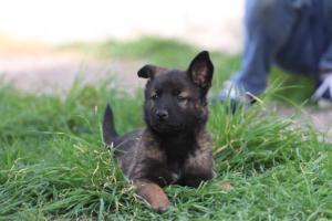 Belgian-Malinois-Puppies-BTWW-H-Litter-180319-0279