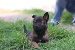 Belgian-Malinois-Puppies-BTWW-H-Litter-180319-0280