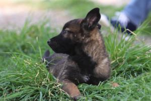 Belgian-Malinois-Puppies-BTWW-H-Litter-180319-0281