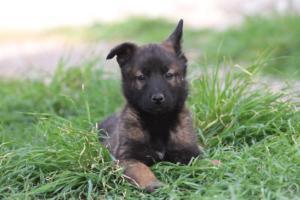 Belgian-Malinois-Puppies-BTWW-H-Litter-180319-0282