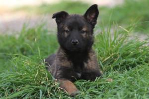 Belgian-Malinois-Puppies-BTWW-H-Litter-180319-0283