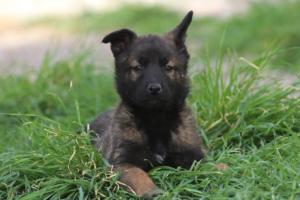 Belgian-Malinois-Puppies-BTWW-H-Litter-180319-0284