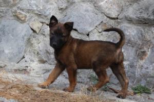 Belgian-Malinois-Puppies-BTWW-H-Litter-180319-0285