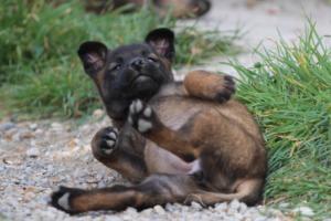 Belgian-Malinois-Puppies-BTWW-H-Litter-180319-0286