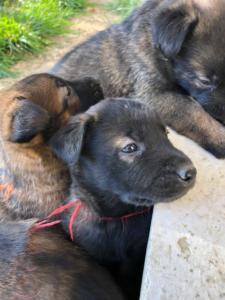 Belgia Malinois puppies23