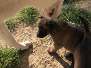 Belgia Malinois puppies27