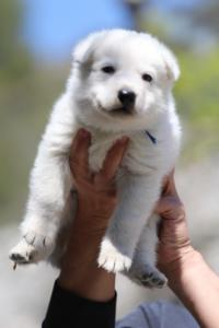 White-Swiss-Shepherd-Puppies-BTWW-I-Litter-250319-0004