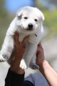 White-Swiss-Shepherd-Puppies-BTWW-I-Litter-250319-0005