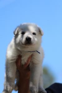White-Swiss-Shepherd-Puppies-BTWW-I-Litter-250319-0010