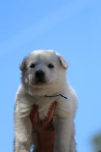 White-Swiss-Shepherd-Puppies-BTWW-I-Litter-250319-0011