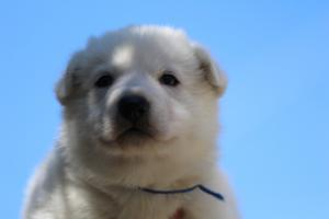 White-Swiss-Shepherd-Puppies-BTWW-I-Litter-250319-0012