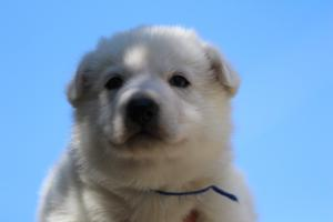 White-Swiss-Shepherd-Puppies-BTWW-I-Litter-250319-0013