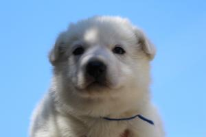 White-Swiss-Shepherd-Puppies-BTWW-I-Litter-250319-0014