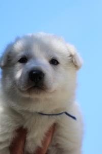 White-Swiss-Shepherd-Puppies-BTWW-I-Litter-250319-0015