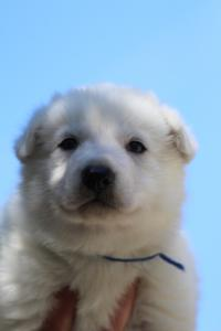White-Swiss-Shepherd-Puppies-BTWW-I-Litter-250319-0016