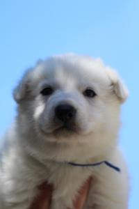 White-Swiss-Shepherd-Puppies-BTWW-I-Litter-250319-0017