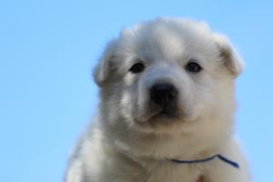 White-Swiss-Shepherd-Puppies-BTWW-I-Litter-250319-0018