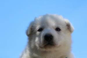 White-Swiss-Shepherd-Puppies-BTWW-I-Litter-250319-0019