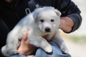 White-Swiss-Shepherd-Puppies-BTWW-I-Litter-250319-0020
