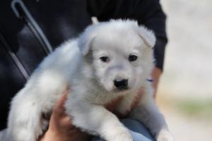 White-Swiss-Shepherd-Puppies-BTWW-I-Litter-250319-0021