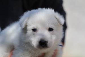 White-Swiss-Shepherd-Puppies-BTWW-I-Litter-250319-0022