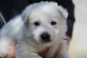 White-Swiss-Shepherd-Puppies-BTWW-I-Litter-250319-0023