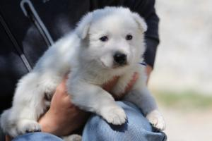White-Swiss-Shepherd-Puppies-BTWW-I-Litter-250319-0024