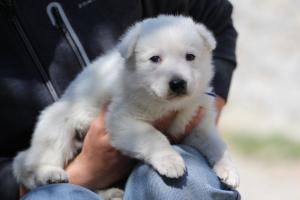 White-Swiss-Shepherd-Puppies-BTWW-I-Litter-250319-0025