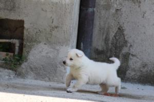 White-Swiss-Shepherd-Puppies-BTWW-I-Litter-250319-0026