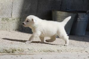 White-Swiss-Shepherd-Puppies-BTWW-I-Litter-250319-0027