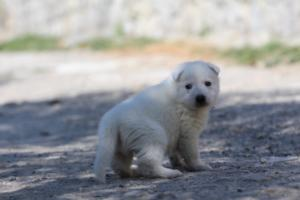 White-Swiss-Shepherd-Puppies-BTWW-I-Litter-250319-0028