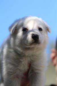 White-Swiss-Shepherd-Puppies-BTWW-I-Litter-250319-0030