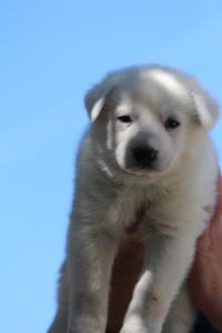White-Swiss-Shepherd-Puppies-BTWW-I-Litter-250319-0031