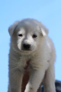 White-Swiss-Shepherd-Puppies-BTWW-I-Litter-250319-0032