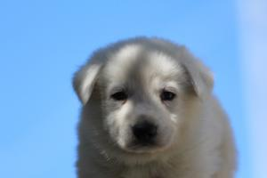 White-Swiss-Shepherd-Puppies-BTWW-I-Litter-250319-0033