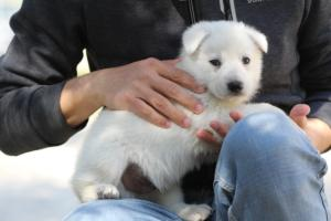 White-Swiss-Shepherd-Puppies-BTWW-I-Litter-250319-0035