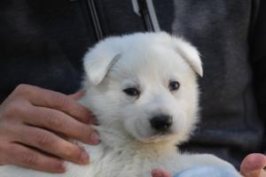 White-Swiss-Shepherd-Puppies-BTWW-I-Litter-250319-0036