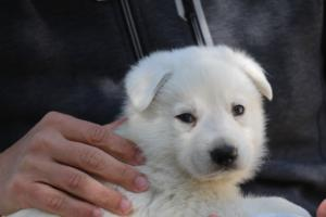White-Swiss-Shepherd-Puppies-BTWW-I-Litter-250319-0037