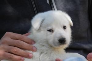 White-Swiss-Shepherd-Puppies-BTWW-I-Litter-250319-0038