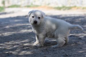 White-Swiss-Shepherd-Puppies-BTWW-I-Litter-250319-0040