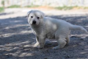 White-Swiss-Shepherd-Puppies-BTWW-I-Litter-250319-0041