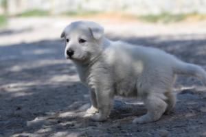 White-Swiss-Shepherd-Puppies-BTWW-I-Litter-250319-0042