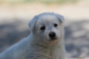 White-Swiss-Shepherd-Puppies-BTWW-I-Litter-250319-0044