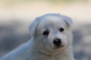 White-Swiss-Shepherd-Puppies-BTWW-I-Litter-250319-0045