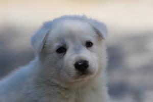 White-Swiss-Shepherd-Puppies-BTWW-I-Litter-250319-0046