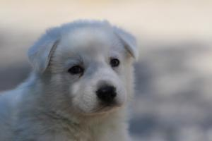 White-Swiss-Shepherd-Puppies-BTWW-I-Litter-250319-0047