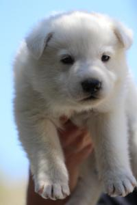 White-Swiss-Shepherd-Puppies-BTWW-I-Litter-250319-0048