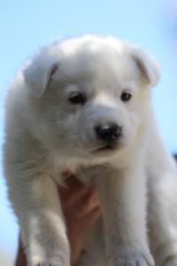 White-Swiss-Shepherd-Puppies-BTWW-I-Litter-250319-0049